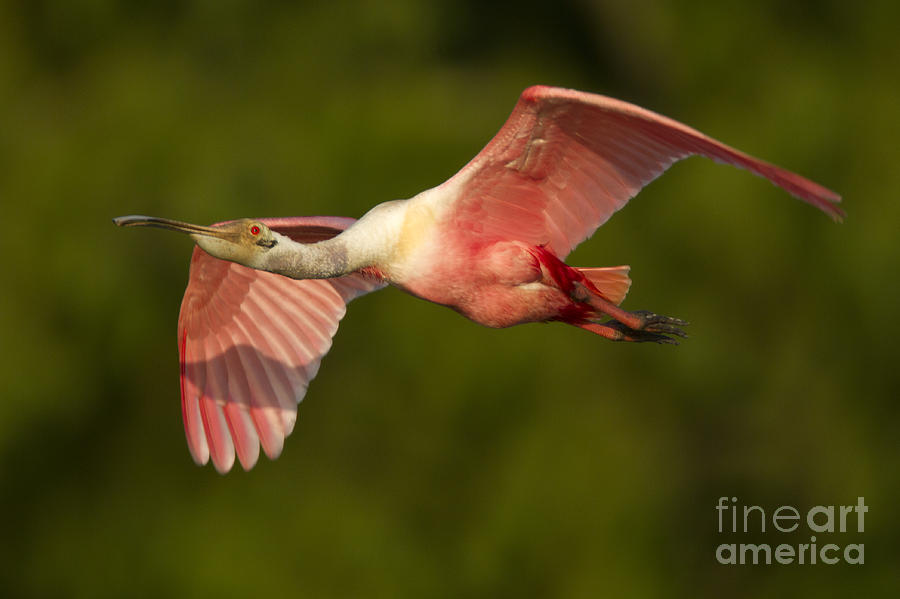 Pink Bird Photograph - Roseate Spoonbill by Kelly Morvant