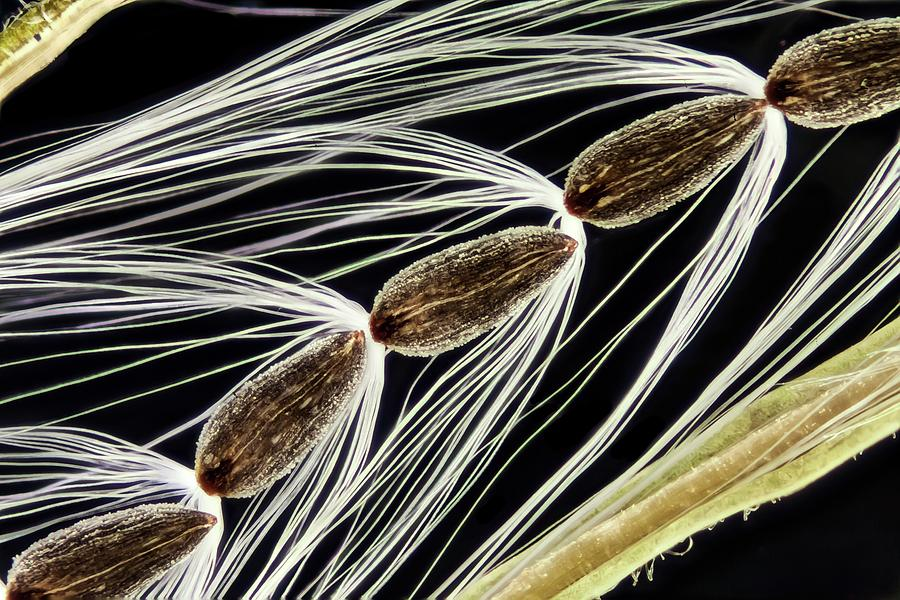 Anatomical Photograph - Rosebay Willowherb Seeds by Gerd Guenther/science Photo Library
