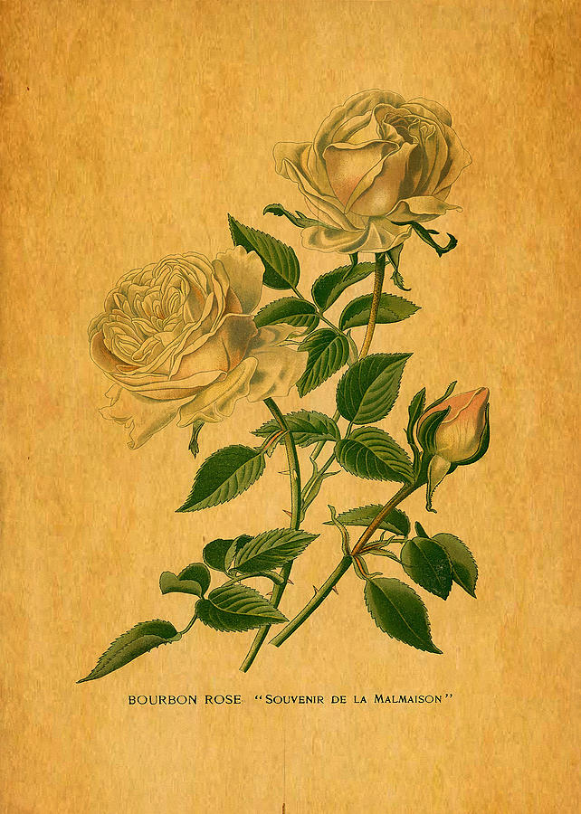 Yellows Digital Art - Roses Are Golden by Sarah Vernon