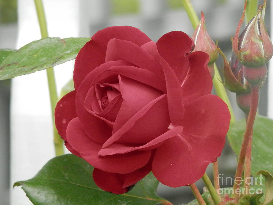 Rose Photograph - Roses Are Red by Margaret McDermott