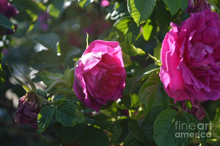 Indiana Photograph - Roses At Sunrise by Alys Caviness-Gober
