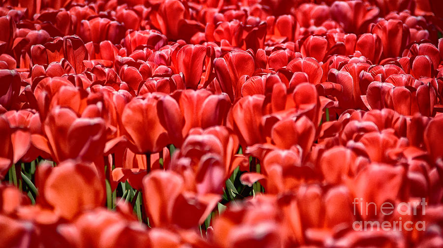 Tulips Photograph - Tulips At The Plaza Hotel by Mark Thomas