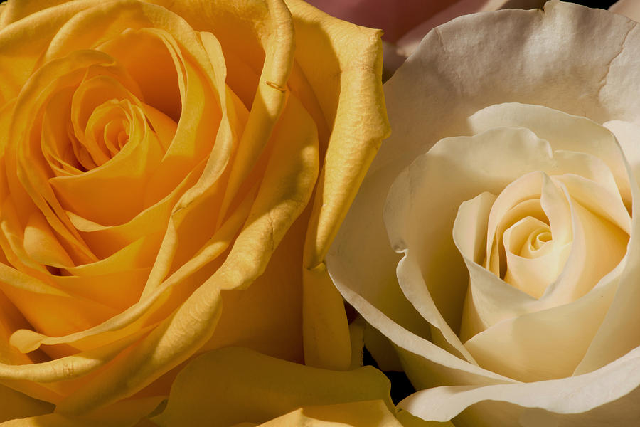 Yellow Rose Photograph - Roses For The Occasion by Denis Darbela