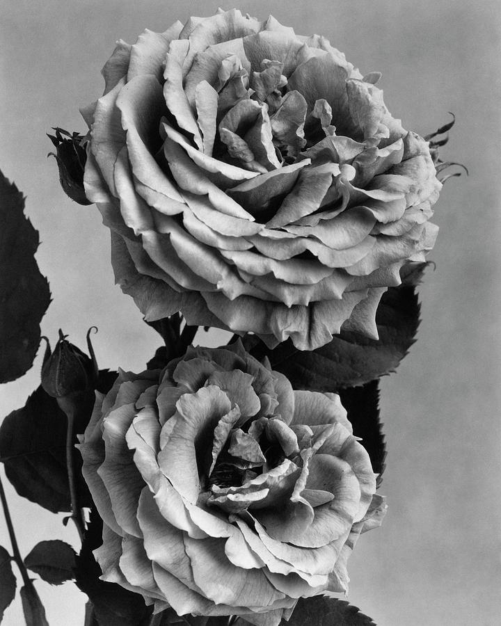 Roses Photograph by J. Horace McFarland