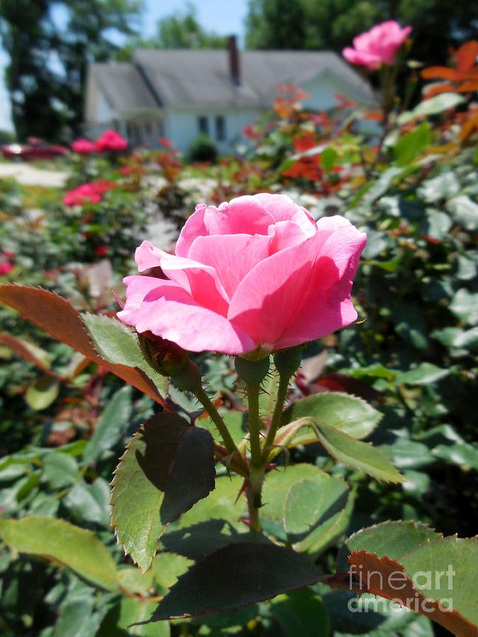 Rose Photograph - Roses Near A Country House by Eloise Schneider