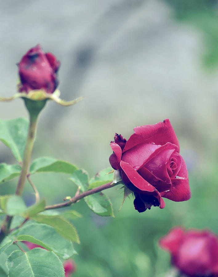 Roses Photograph - Roses by Tudor Catalin Gheorghe