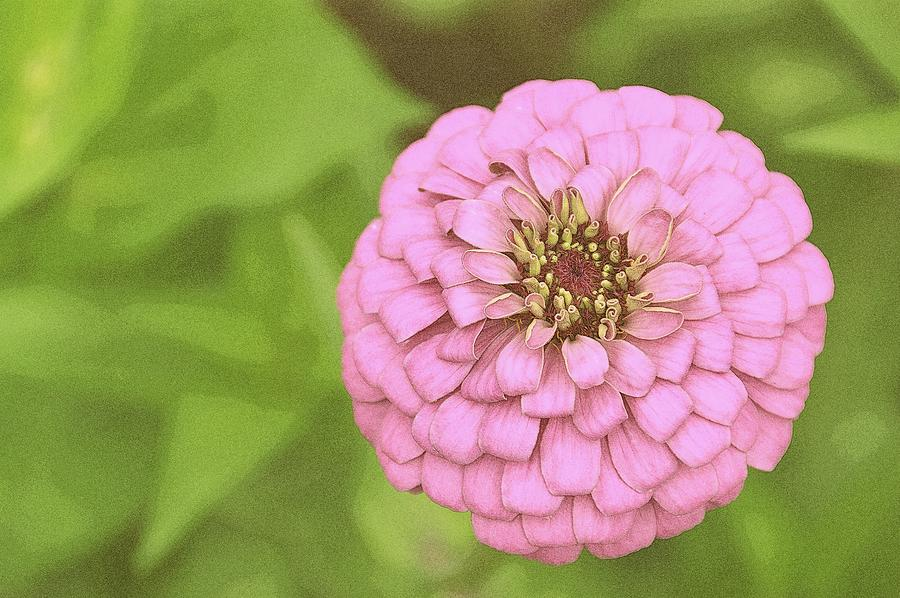 Purple Photograph - Rosy Corsage by JAMART Photography
