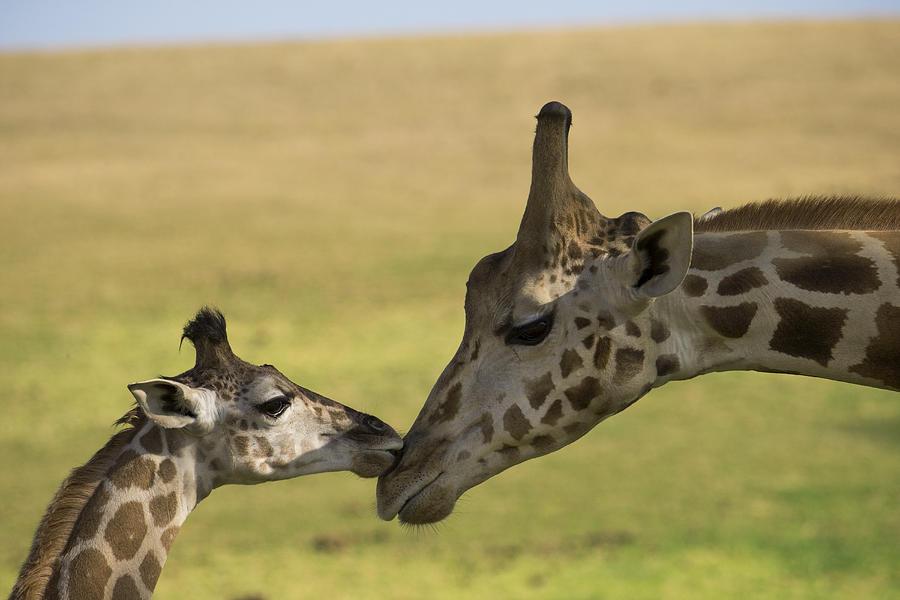 Rothschild Giraffe Male Calf Nuzzling Photograph by San Diego Zoo