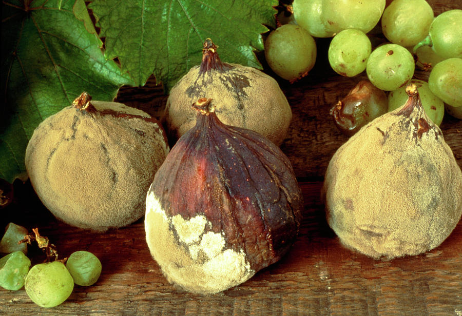 Fruit Photograph - Rotting & Mouldy Figs by Sidney Moulds/science Photo Library