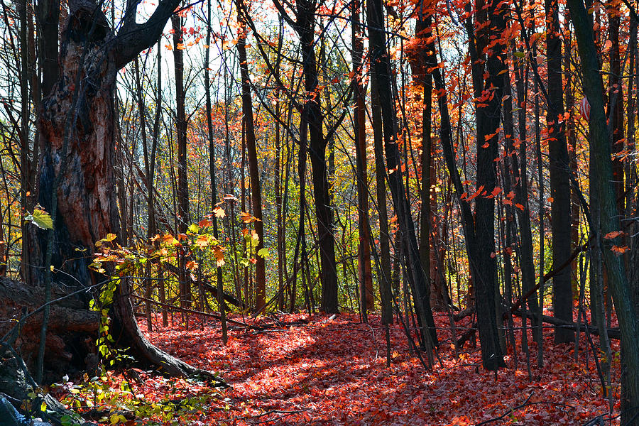 Nature Photograph - Rouge Forest by Kurt Bonnell