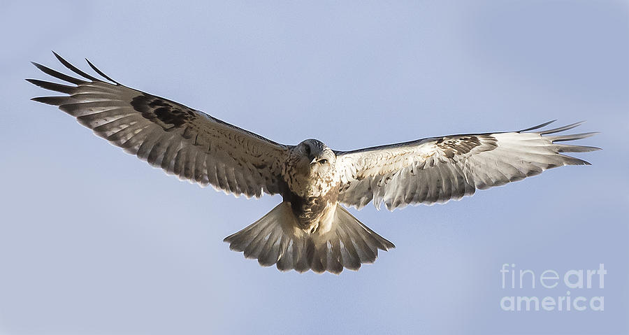 Canon Photograph - Rough-legged Hawk Coming Right At You by Ricky L Jones