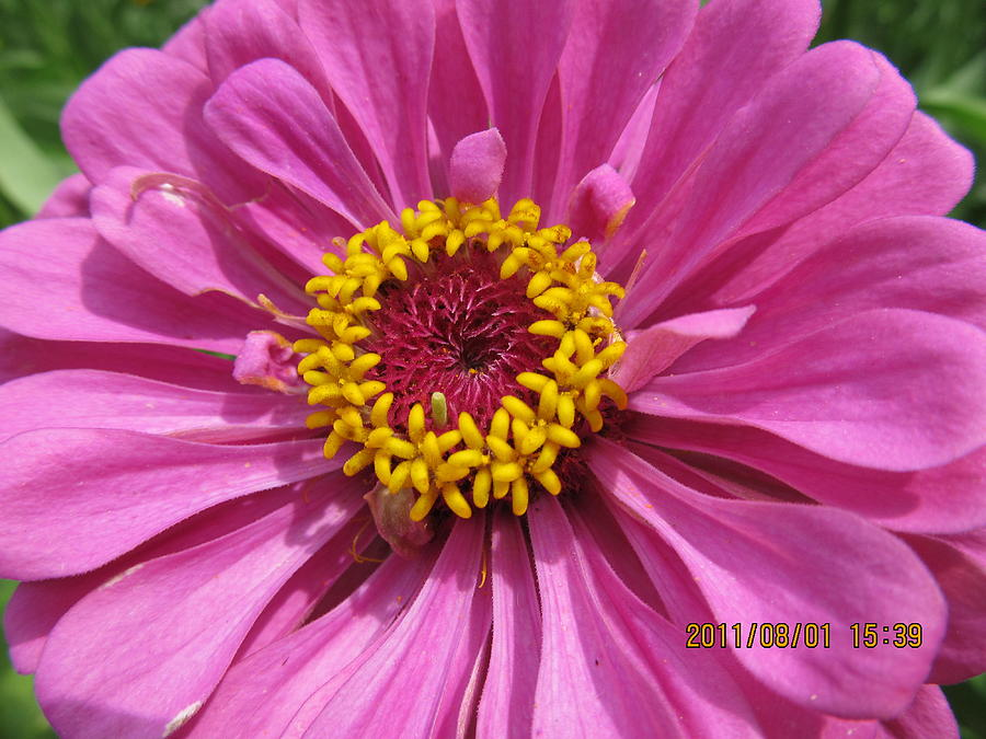 Flowers Photograph - Round Pink Beauty by Tina M Wenger