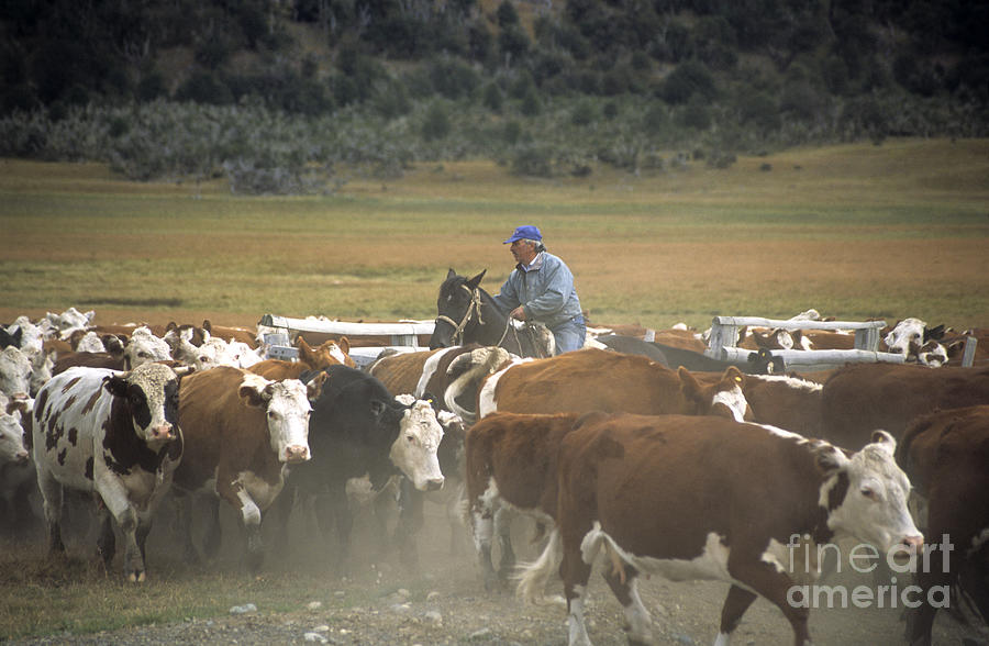 Cowboy Photograph - Cattle Round Up Patagonia by James Brunker