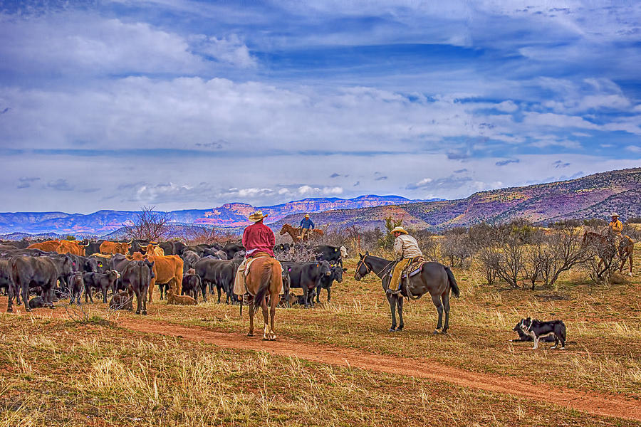 Rounding Up Cattle In Cornville Arizona Photograph