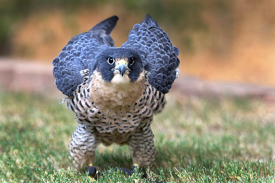 Falcon Photograph - Rousing by Danny Pickens