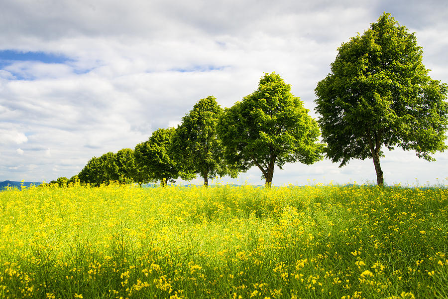Row Of Trees In Spring Landscape Green And Yellow Photograph