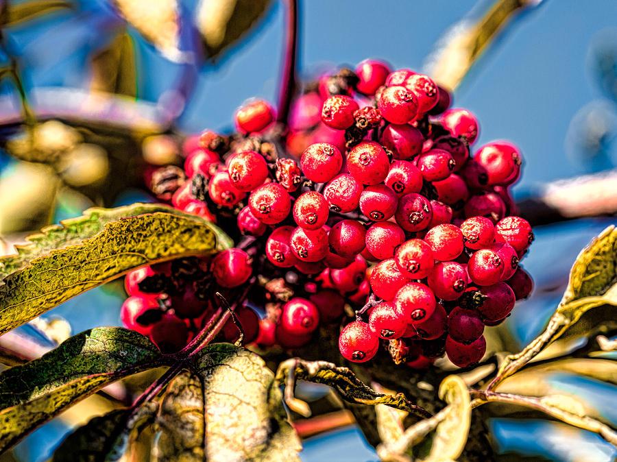 Berry Photograph - Rowan Berries by Leif Sohlman
