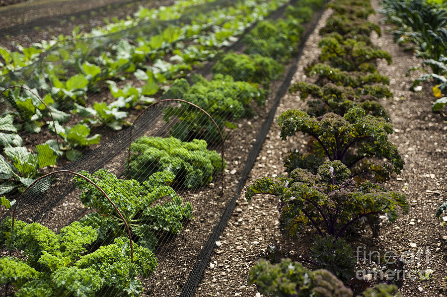 Garden Photograph - Rows Of Kale by Anne Gilbert