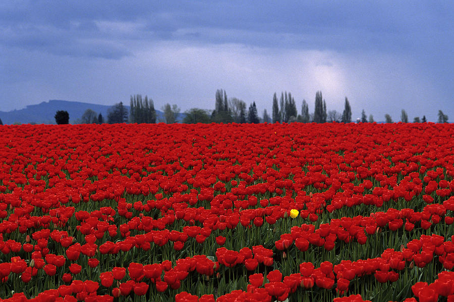 Travel Photograph - Rows Of Red Tulips With One Yellow Tulip  by Jim Corwin