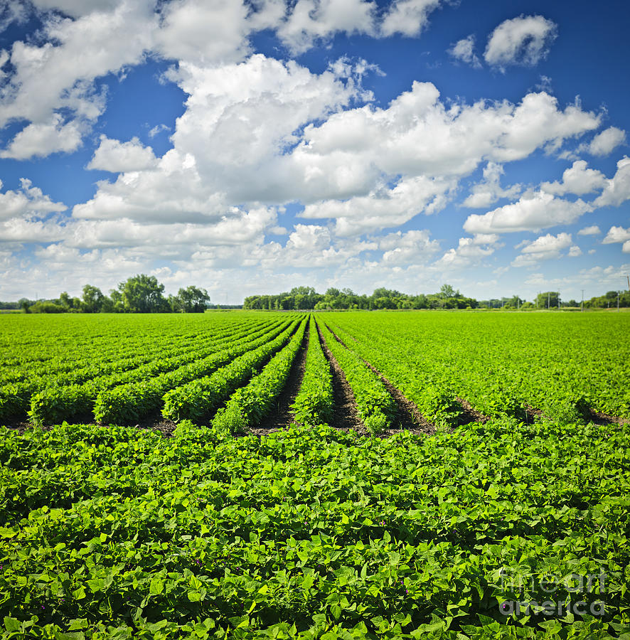 Soy Photograph - Rows Of Soy Plants In Field by Elena Elisseeva