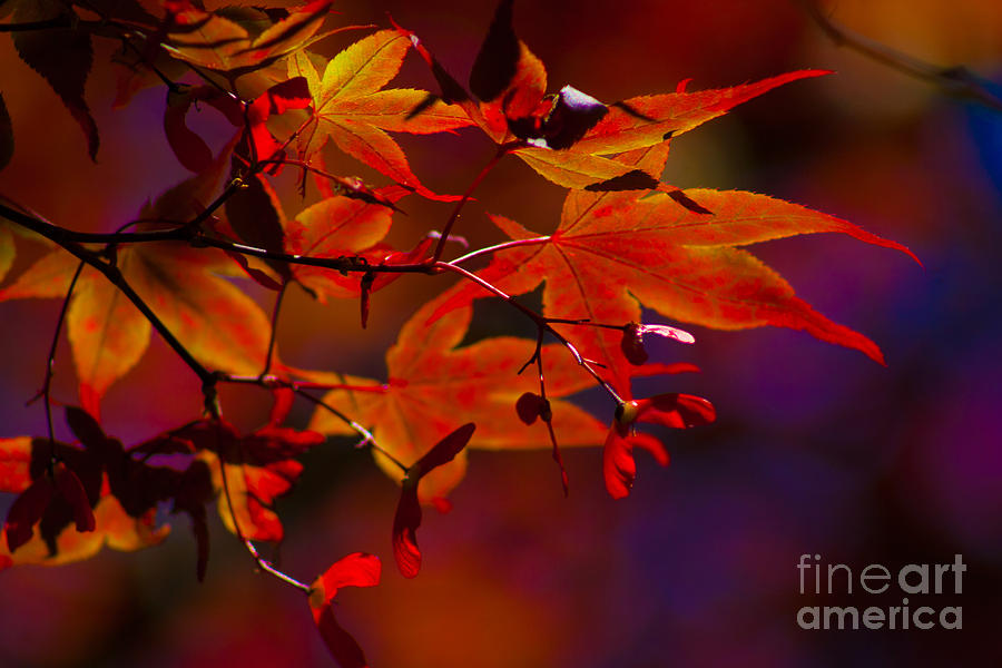 Leaves Photograph - Royal Autumn A by Jennifer Apffel