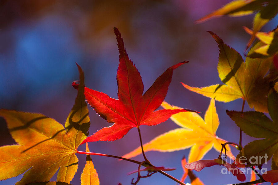 Leaves Photograph - Royal Autumn B by Jennifer Apffel