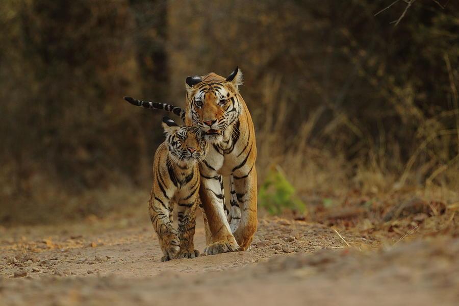 Royal Bengal Tiger With Cub Photograph by Shivang Mehta