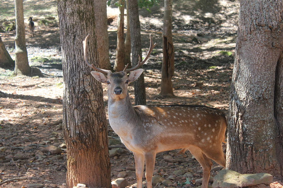 Deer Photograph - Royal Deer IIi by Jennifer Gillis