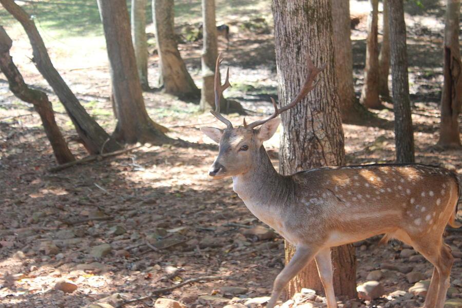 Nature Photograph - Royal Deer  by Jennifer Gillis
