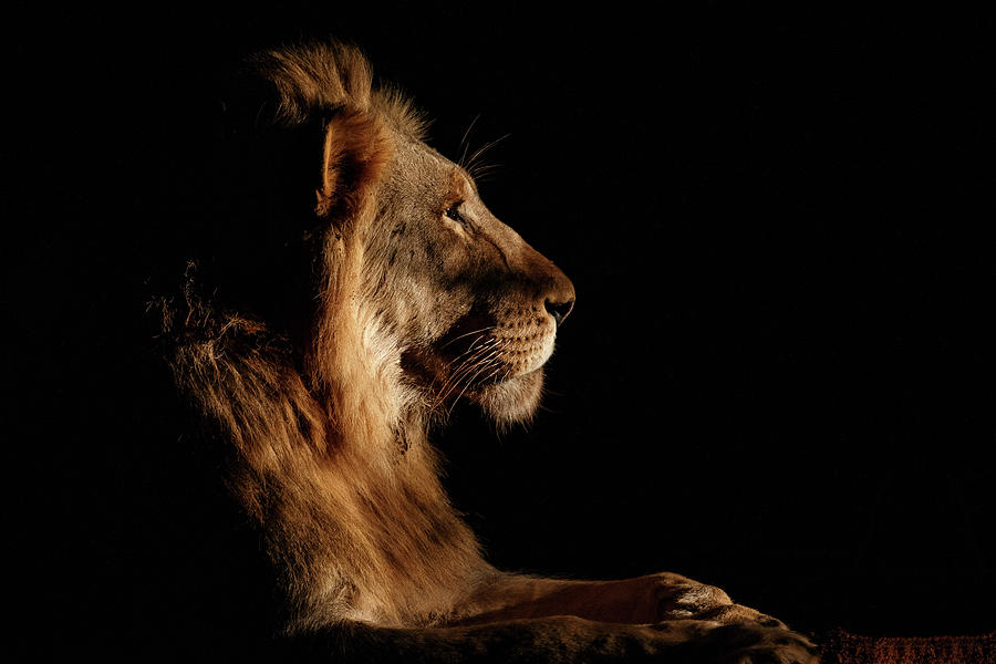 Lion Photograph - Royal Meeting In The Night by Andreas Hemb