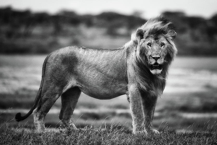 Lion Photograph - Royal Pose by Mohammed Alnaser