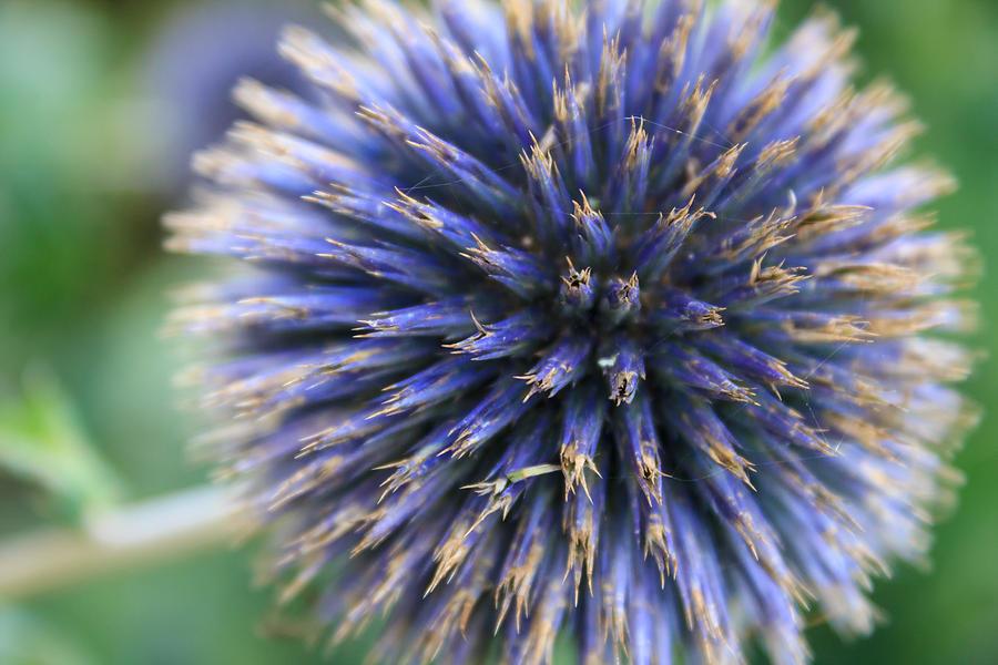 Royal Purple Scottish Thistle Photograph By Silken Photography