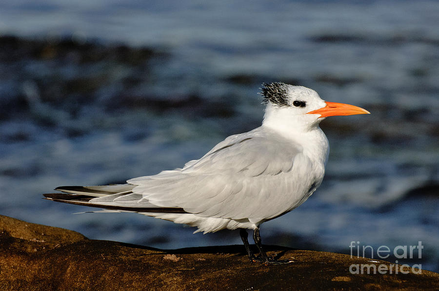 Nature Photograph - Royal Tern by Anthony Mercieca