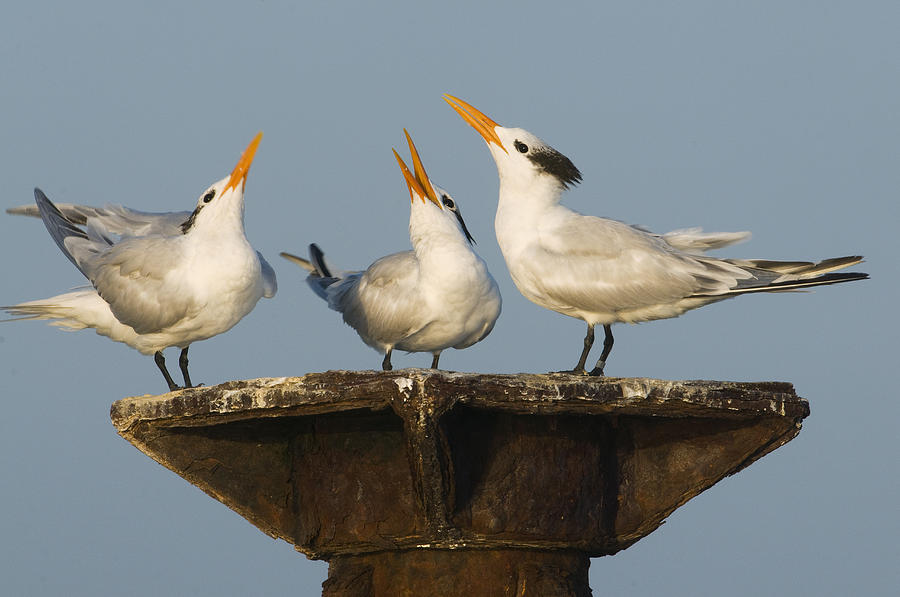 Royal Tern Trio Displaying Dominican Photograph by Kevin Schafer