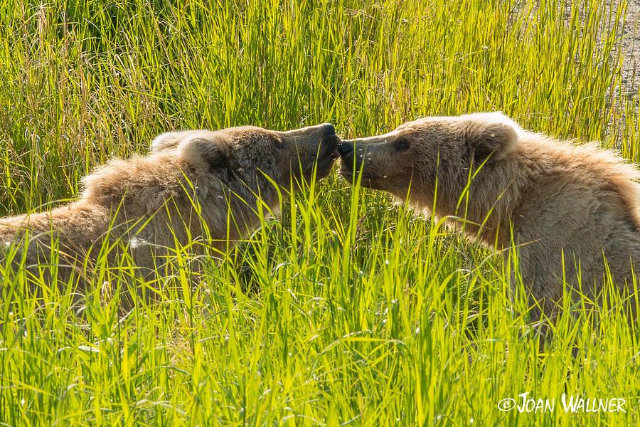 Alaska Photograph - Rubbing Noses by Joan Wallner
