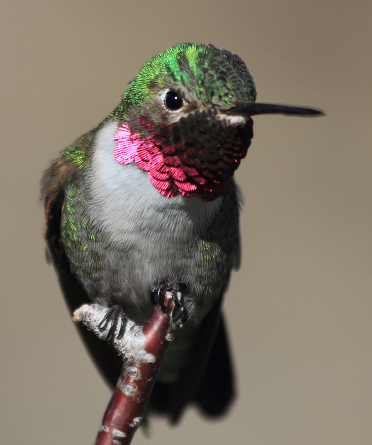 Ruby-Throated Hummer Photograph by Shane Bechler