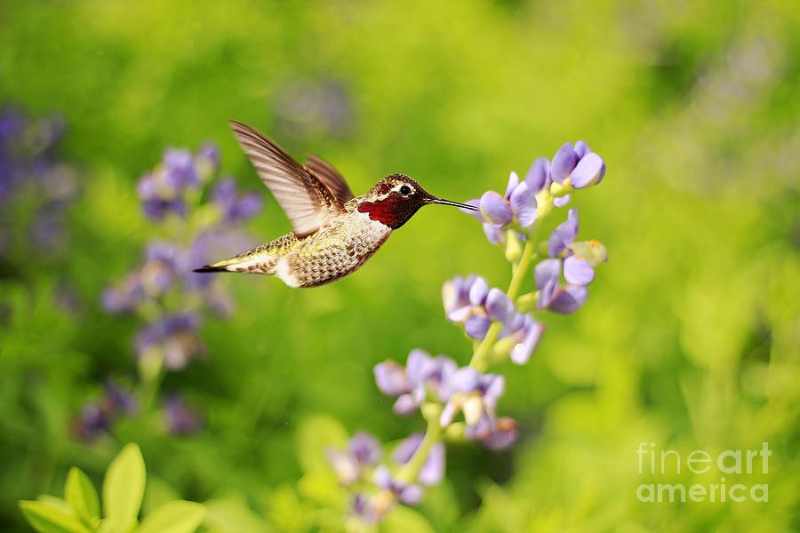 Bokeh Photograph - Ruby Throated Hummingbird by Darren Fisher