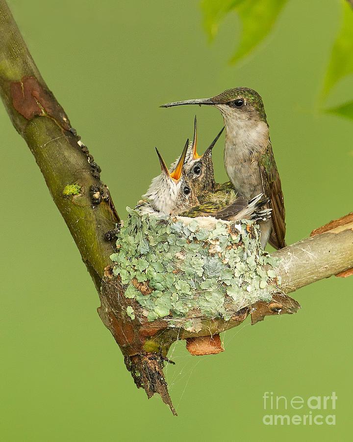 Ruby Photograph - Ruby-throated Hummingbird by Joshua Clark