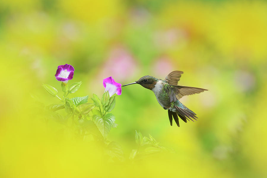 Adult Photograph - Ruby-throated Hummingbird Male by Rolf Nussbaumer