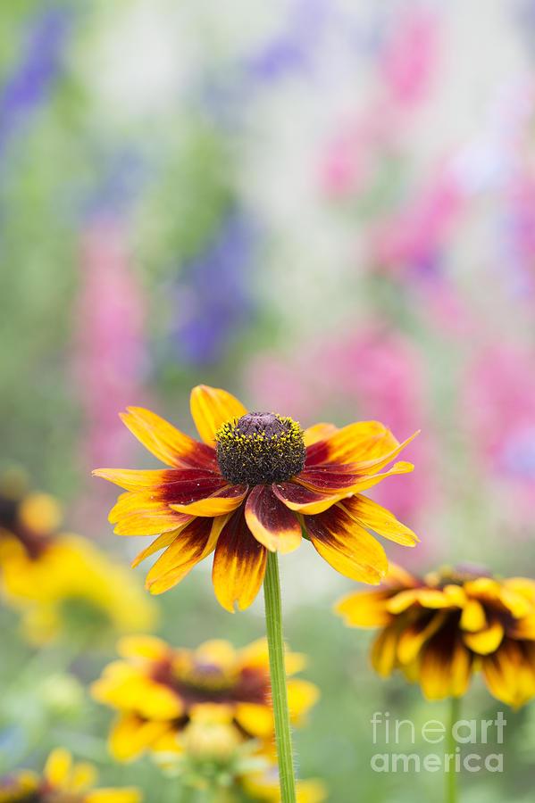 Rudbeckia Hirta Photograph - Rudbeckia Hirta by Tim Gainey