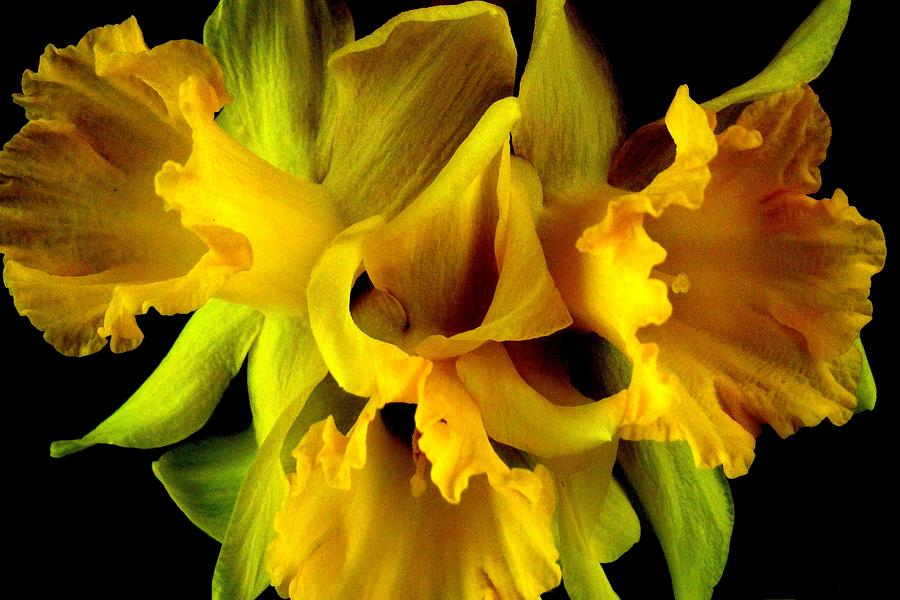 Flower Photograph - Ruffled Daffodils by Marianne Dow