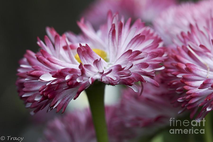 Daisy Photograph - Ruffled Daisy by Tracy  Hall