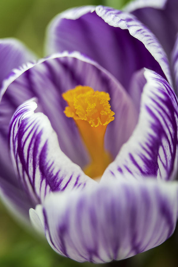 Crocus Photograph - Ruffles And Stripes by Caitlyn  Grasso