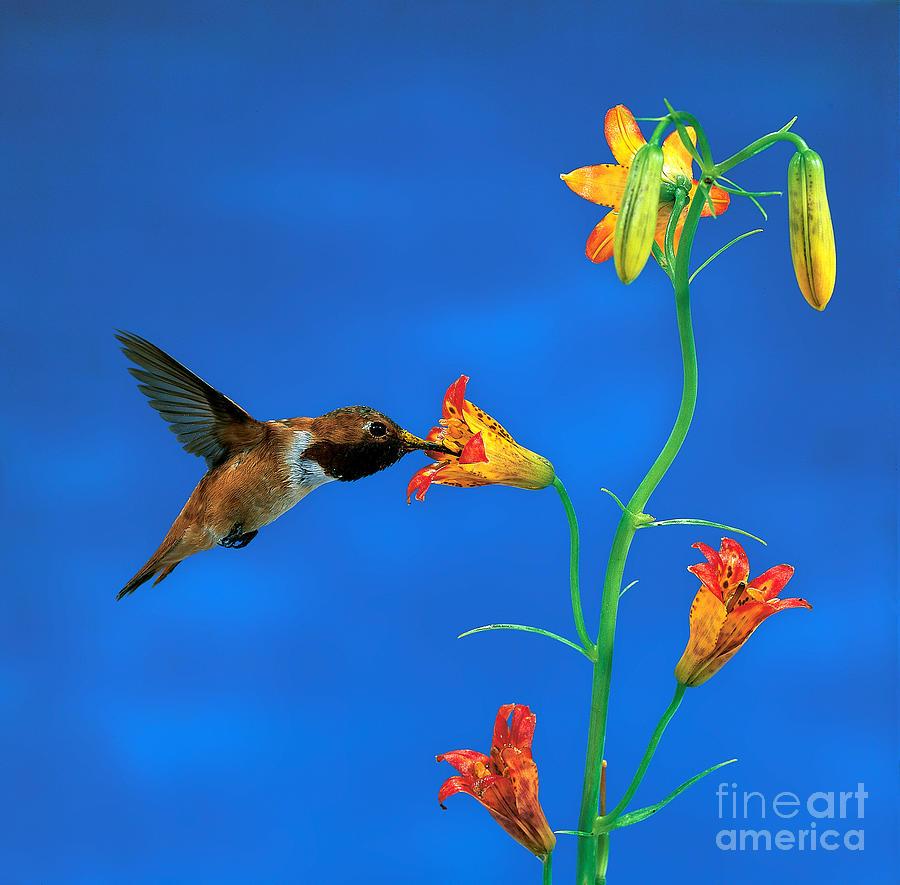 Rufous Hummingbird Photograph - Rufous Hummingbird by Anthony Mercieca