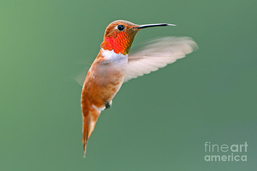 Rufous Hummingbird by Bill Singleton