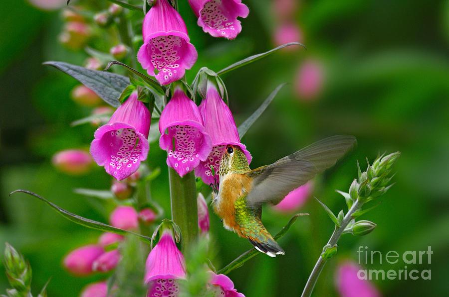 Animal Photograph - Rufous Hummingbird by Thomas and Pat Leeson