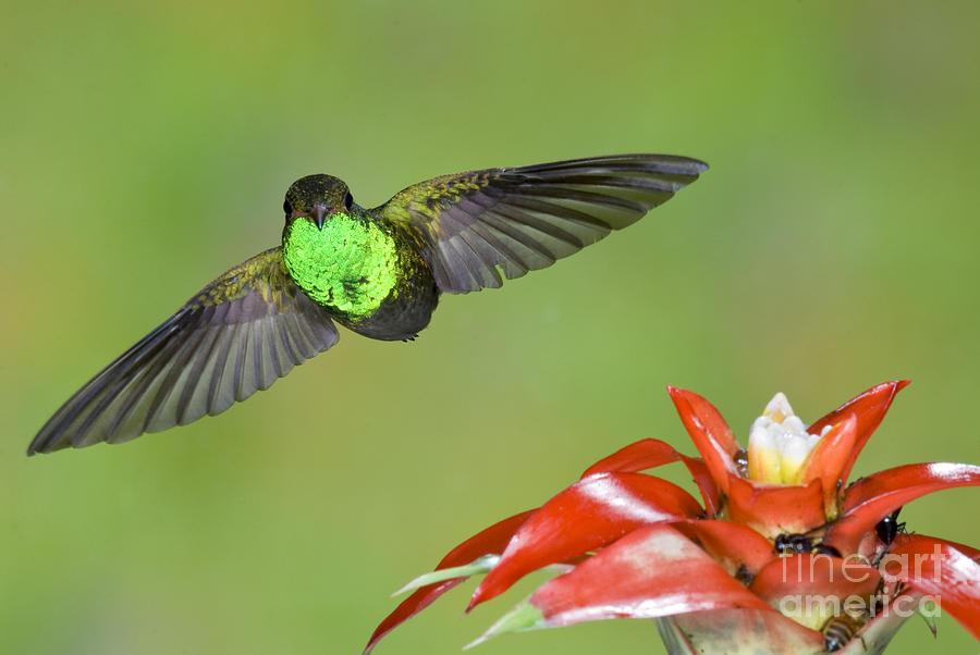 Rufous-tailed Hummingbird Photograph - Rufous-tailed Hummer-ecuador by Anthony Mercieca