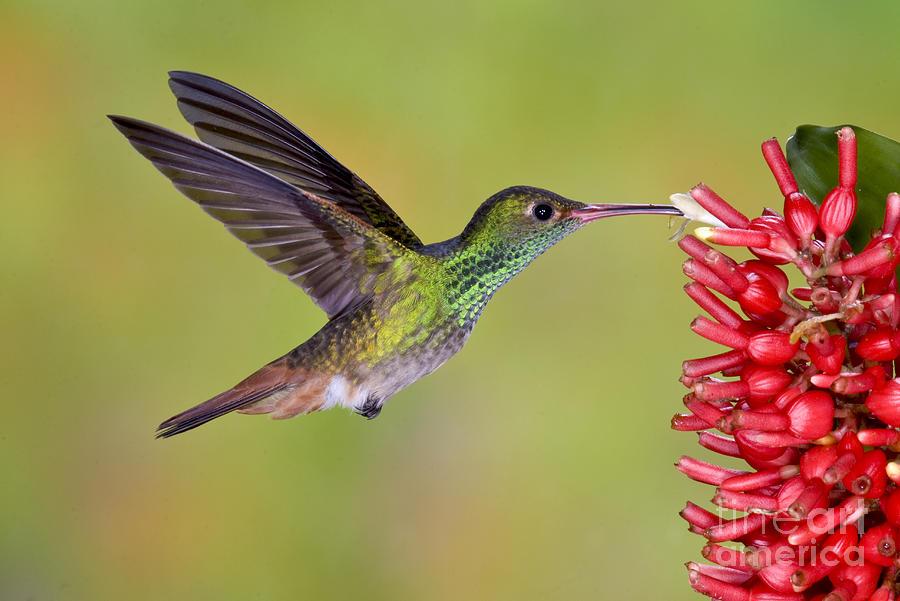 Fauna Photograph - Rufous-tailed Hummingbird by Anthony Mercieca