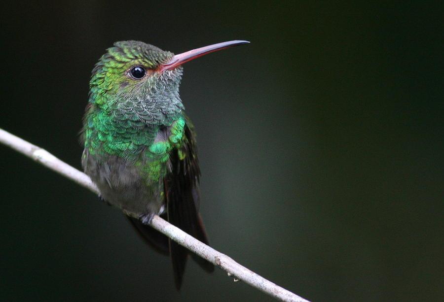 Bird Photograph - Rufous-tailed Hummingbird by Joe Sweeney