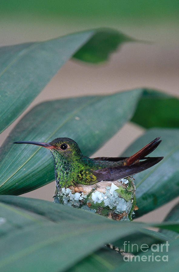 Fauna Photograph - Rufous-tailed Hummingbird On Nest by Gregory G Dimijian MD